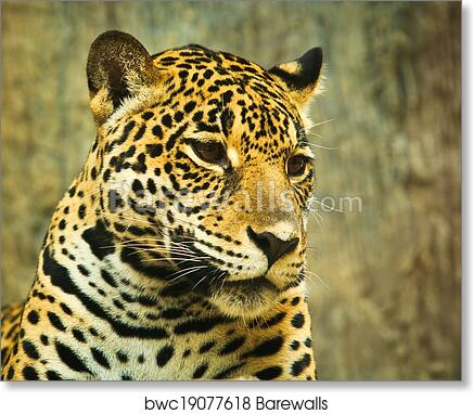 Art Print Of Jaguar And Lived In Central America And South America