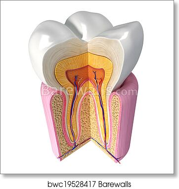 Art Print Of Anatomy Of Teeth With Cut Section Barewalls Posters