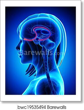 Art Print of Brain anatomy olfactory bulb | Barewalls Posters ...
