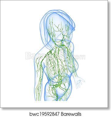 Lymphatic System Of Female Body Art Print Barewalls Posters Prints Bwc19592847