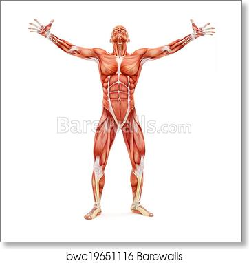 Art Print of Male musculoskeletal system. | Barewalls Posters ...