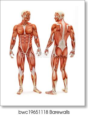 art print of male musculoskeletal system