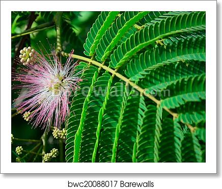 Art Print Of Pink Mimosa Flower Barewalls Posters Prints