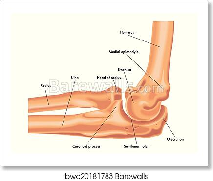 Art Print of Elbow joint | Barewalls Posters & Prints | bwc20181783