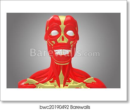 Art Print of Skeleton with face muscles | Barewalls Posters & Prints ...