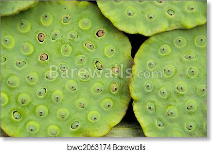 Lotus Flower Pod 1 Art Print Barewalls Posters Prints Bwc2063174
