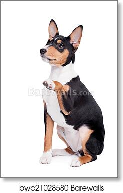 Basenji Puppy 3 Month Isolated On The White Art Print Barewalls