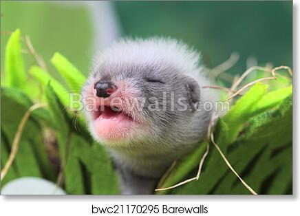 Art Print of Ferret baby in the nest of hay | Barewalls Posters ...
