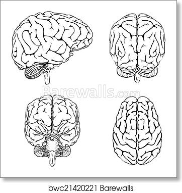 Art print of brain from top side front and back barewalls posters art print of brain from top side front and back ccuart Images