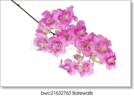 Art print of pink trumpet vine isolated on white background art print of pink trumpet vine isolated on white background mightylinksfo