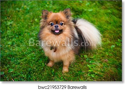 Pomeranian Dog Zwergspitz Art Print Barewalls Posters Prints