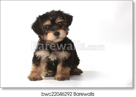 Tiny Miniature Teacup Yorkie Puppy On White Background Art Print