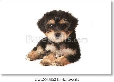Art Print Of Tiny Miniature Teacup Yorkie Puppy On White Background