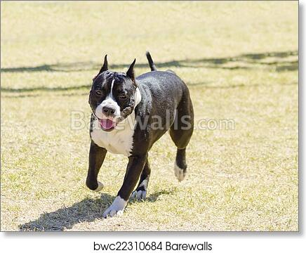 Abstract Dog Art American Staffordshire Terrier