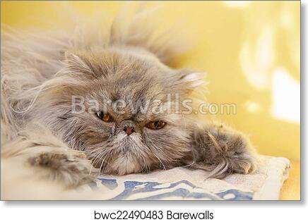 Young Tortie Persian Cat Art Print Barewalls Posters Prints Bwc22490483
