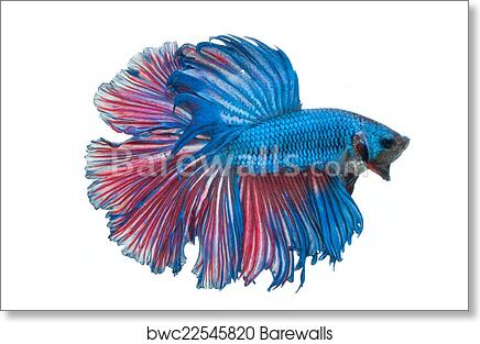 Fighting Fish Poster Beautiful Betta