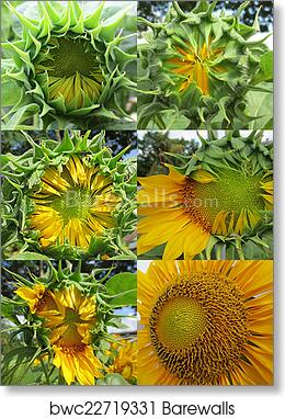 Sunflower growth stages art print poster