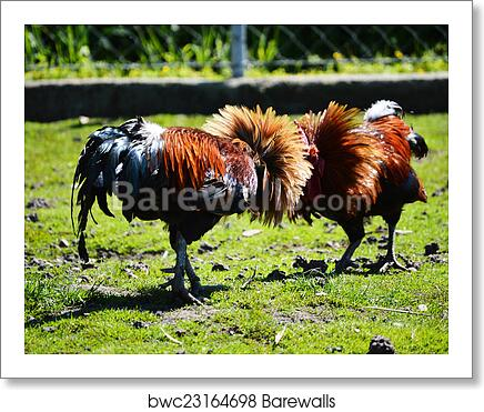 Fighting rooster on the poultry farm art print poster