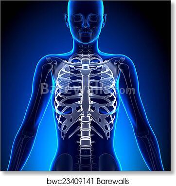 Art Print Of Female Rib Cage Anatomy Bones Barewalls Posters