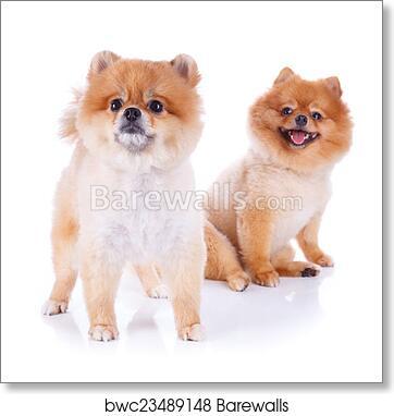 Art Print Of Pomeranian Dog Brown Short Hair Barewalls Posters