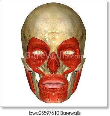 Art Print of Face muscles | Barewalls Posters & Prints | bwc23597610