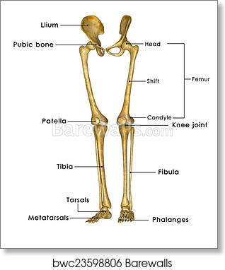 Skeleton Diagram Hip And Legs - Car Wiring Diagrams Explained •