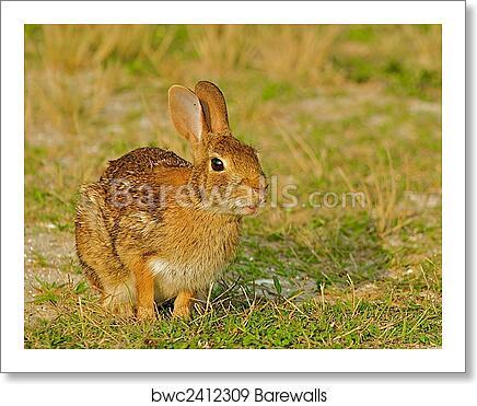 Wild rabbit in Chincoteague, Virginia  art print poster