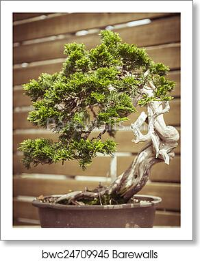 Close Up Of An Old Bonsai Tree In A Flower Pot Art Print Barewalls Posters Prints Bwc24709945