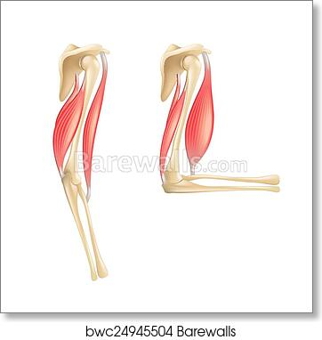 Art Print Of Elbow Joint Anatomy Isolated On White Vector