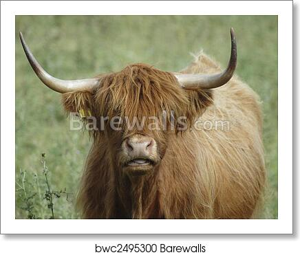 Highland Cow Face art print poster