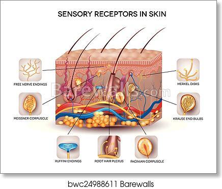Art Print Of Sensory Receptors In The Skin Barewalls Posters