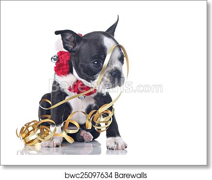 Funny Boston Terrier Puppy Dressed Up
