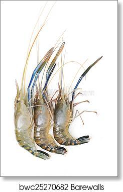 Raw giant freshwater prawn art print poster