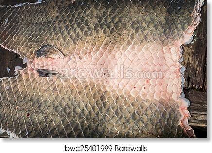 c3cc0dc76a5 Arapaima Pirarucu skin over wooden table, top view, background art print  poster