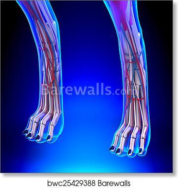 Art Print of Dog Hind Legs Anatomy with Circulatory System ...