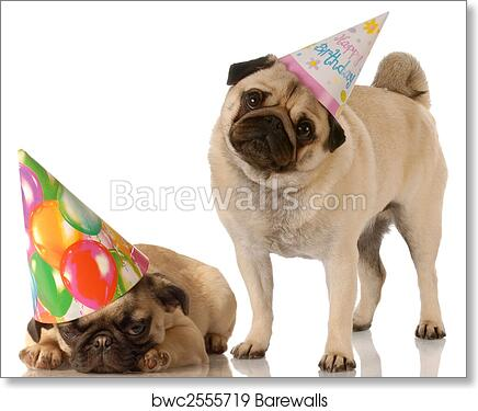 Two Pug Dogs Wearing Cute Birthday Hats On White Background Art Print