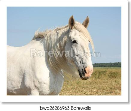Art Print Of Beautiful White Shire Horse Portrait In Rural Area