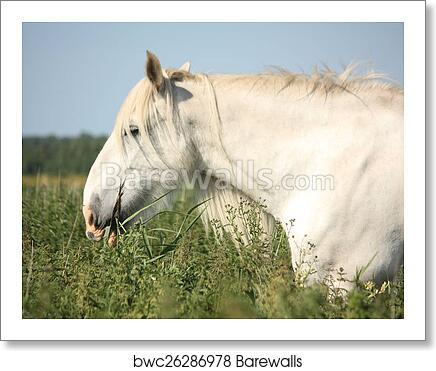 Art Print Of Beautiful White Shire Horse Portrait In Rural Area