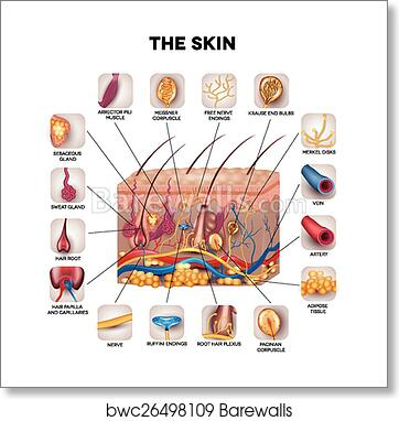 Art Print Of Skin Anatomy Barewalls Posters Prints Bwc26498109