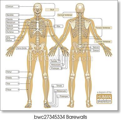 Art Print Of A Diagram Of The Human Skeleton Barewalls Posters