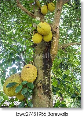 Images Of Jackfruit Trees