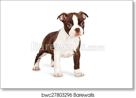 Brown Boston Terrier Puppy Standing to Side art print poster