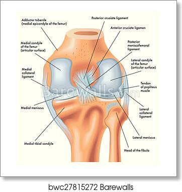 Art Print of Posterior view of the right knee | Barewalls Posters ...