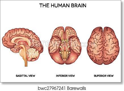 Art Print of Human brain detailed anatomy | Barewalls Posters ...