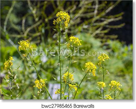 Art print of white mustard sinapis alba barewalls posters yellow flowers of white mustard sinapis alba mightylinksfo