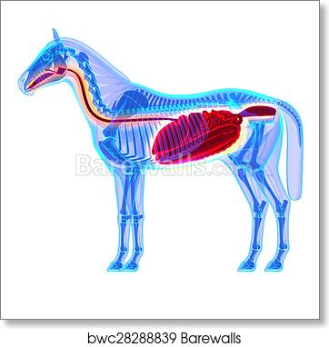 Art Print of Horse Digestive System - Horse Equus Anatomy - isolated ...
