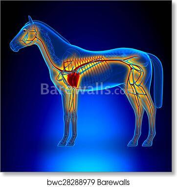 Art Print Of Horse Heart Circulatory System Horse Equus Anatomy