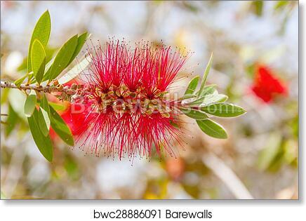 Art print of albizia julibrissin silk tree barewalls posters art print of albizia julibrissin silk tree mightylinksfo