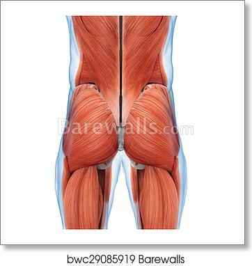 Art Print of Buttock Muscles Anatomy | Barewalls Posters & Prints ...