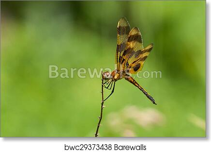 Real Dragonfly Halloween Pennant Dragonfly framed insect bug gift Celithemis eponina